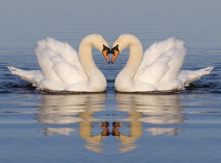 swans floating on lake - parents can argue nicely